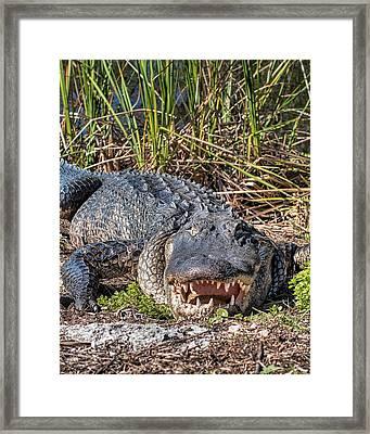 Alligator -34 Framed Print by Rudy Umans
