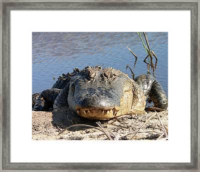 Alligator Approach Framed Print by Al Powell Photography USA