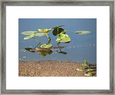 Alligator Comfortable Under The Leaves Framed Print by Zina Stromberg