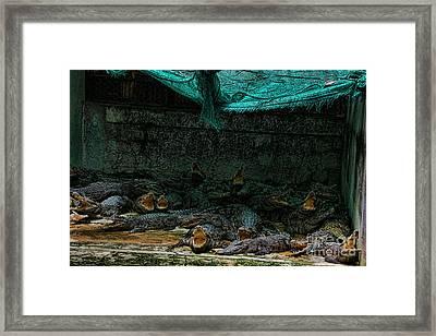 Alligator Farm Cambo Framed Print by Chuck Kuhn