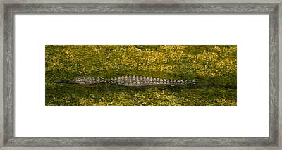 Alligator Flowing In A Canal, Big Framed Print by Panoramic Images
