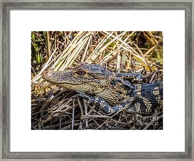 Alligator's Baby Framed Print by Zina Stromberg