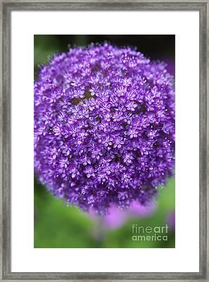 Allium Ambassador Framed Print by Tim Gainey