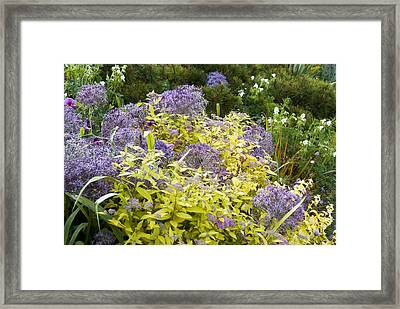 Allium Cristophii And Spirea Japonica Framed Print by Science Photo Library