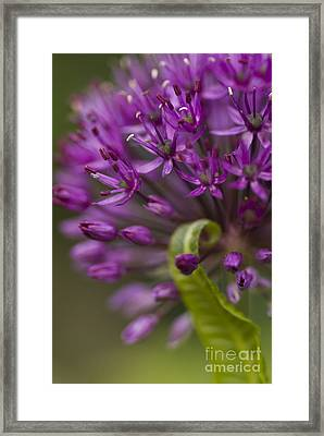 Allium Curl Framed Print by Anne Gilbert
