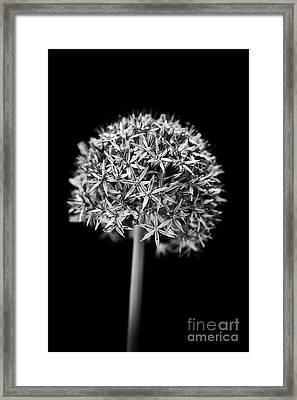 Allium Globemaster Framed Print by Tim Gainey