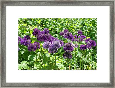 Allium Hollandicum 'purple Sensation' Framed Print by Bjanka Kadic