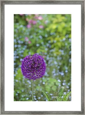 Allium Hollandicum Purple Sensation Flower Framed Print by Tim Gainey