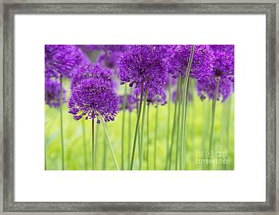 Allium Hollandicum Purple Sensation Flowers Framed Print by Tim Gainey