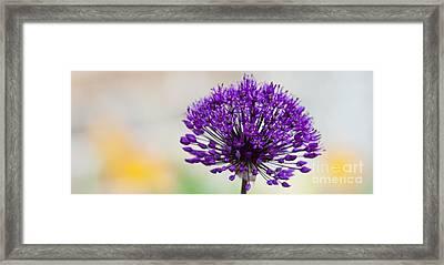 Allium Hollandicum Purple Sensation Panoramic Framed Print by Tim Gainey