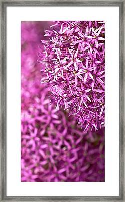 Allium Hollandicum 'purple Sensation'  Framed Print by Peter Jed