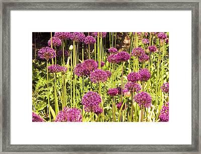 Allium Hollandicum Framed Print by Science Photo Library