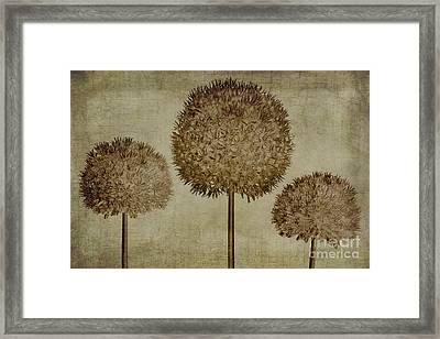 Allium Hollandicum Sepia Textures Framed Print by John Edwards
