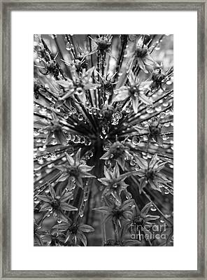 Allium Jewels Framed Print by Anne Gilbert