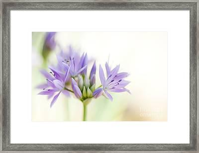 Allium Unifolium Eros Framed Print by Tim Gainey