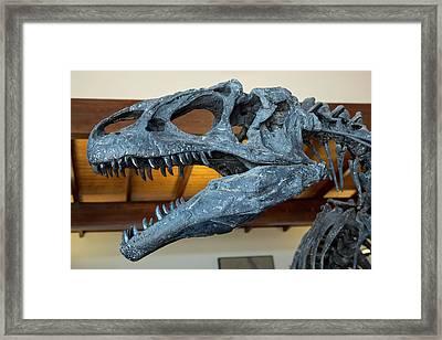 Allosaurus Dinosaur Fossil Display Framed Print by Jim West