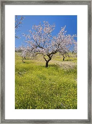 Almond Tree Framed Print by Guido Montanes Castillo