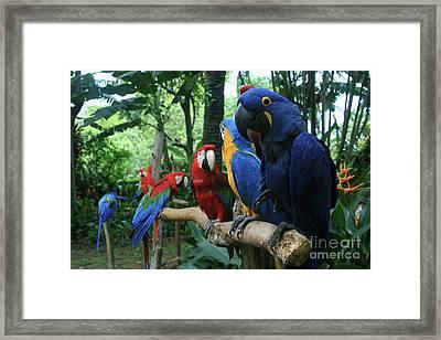 Aloha Kaua Aloha Mai No Aloha Aku Beautiful Macaw Framed Print by Sharon Mau