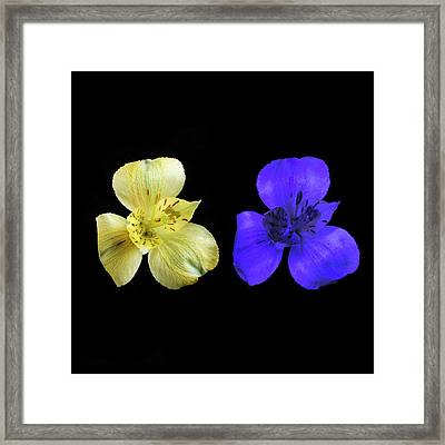 Alstroemeria Flowers In Uv And Daylight Framed Print by Science Photo Library