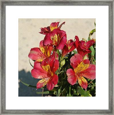 Alstroemeria In Pastel Framed Print by Suzanne Gaff