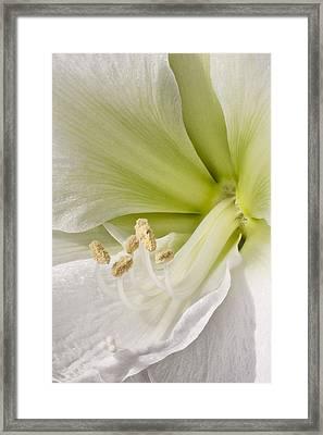 Amaryllis Framed Print by Adam Romanowicz