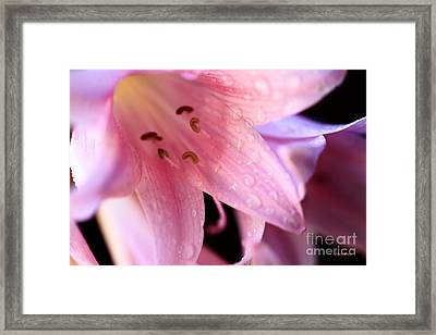 Amaryllis Framed Print by Cheryl Young