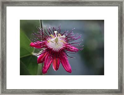 Amazing Passion Flower Framed Print by Penny Lisowski