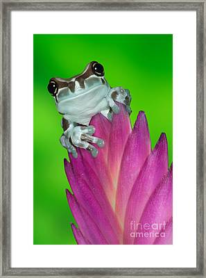 Amazon Milk Frog Trachycephalus Framed Print by Dennis Flaherty