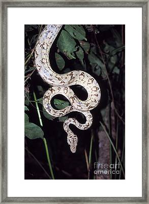 Amazon Tree Boa Framed Print by James Brunker