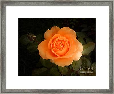 Amber Flush Rose Framed Print by Hanza Turgul