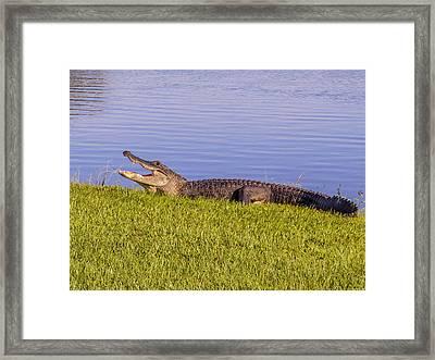 American Alligator Framed Print by Zina Stromberg