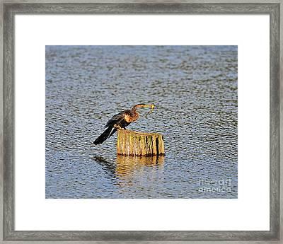 American Anhinga Angler Framed Print by Al Powell Photography USA