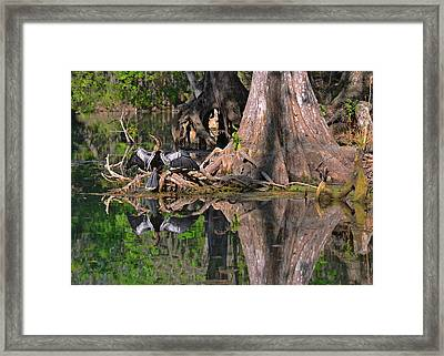 American Anhinga Or Snake-bird Framed Print by Christine Till