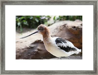 American Avocet 5d24829 Framed Print by Wingsdomain Art and Photography