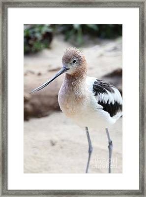 American Avocet 5d24830 Framed Print by Wingsdomain Art and Photography