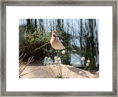 American Avocet 5d25095 Framed Print by Wingsdomain Art and Photography