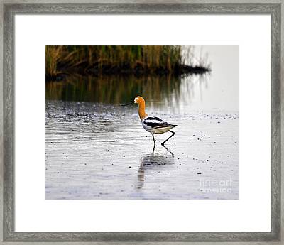 American Avocet Framed Print by Al Powell Photography USA