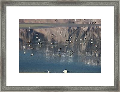American Avocets On Owens Lake Framed Print by Jim West