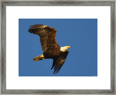 American Bald Eagle Close-ups Over Santa Rosa Sound With Blue Skies Framed Print by Jeff at JSJ Photography