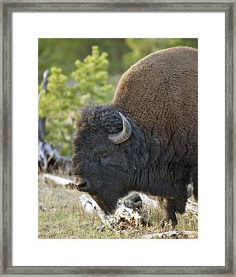 American Bison Framed Print by Gary Langley