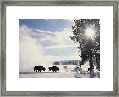 American Bison In Winter Framed Print by Tim Fitzharris