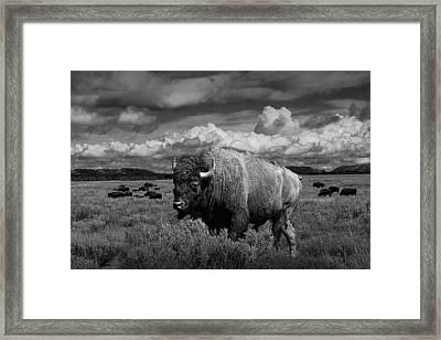 American Buffalo Or Bison In The Grand Teton National Park Framed Print by Randall Nyhof