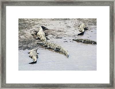 American Crocodiles (crocodylus Acutus) Framed Print by Photostock-israel