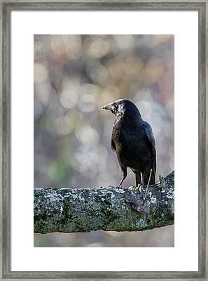 American Crow Framed Print by Bill Wakeley