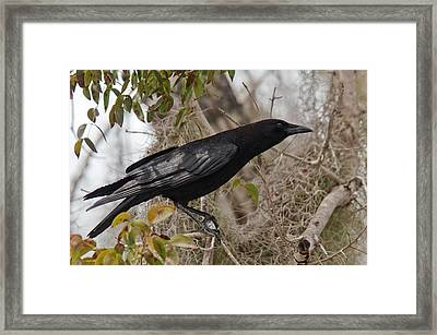 American Crow In A Tree Framed Print by Bob Gibbons