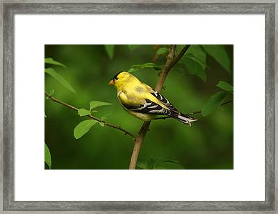 American Gold Finch Framed Print by Sandy Keeton