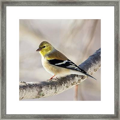 American Goldfinch Square Framed Print by Bill Wakeley