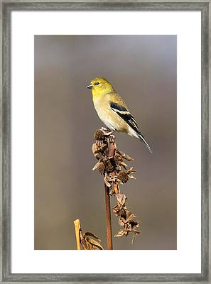 American Goldfinch 9 Framed Print by David Lester