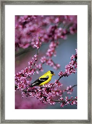 American Goldfinch (carduelis Tristis Framed Print by Richard and Susan Day