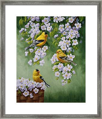 American Goldfinch Spring Framed Print by Crista Forest